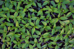 Pepper cultivation Royalty Free Stock Photos