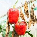 Pepper disease Royalty Free Stock Photo
