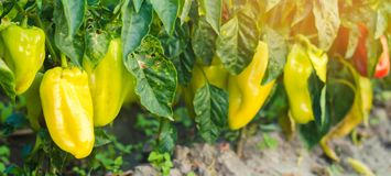 Pepper disease is caused by the Phytophthora infestans virus. Agriculture, farming, crops. disease of vegetables on the field. sel. Ective focus stock photo