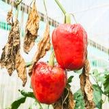 Pepper, disease Stock Photo