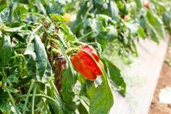 Pepper, disease in farm. Royalty Free Stock Photo