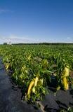 Pepper farm Royalty Free Stock Photo