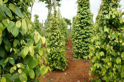 Pepper field, Viet Nam, farm product Royalty Free Stock Image
