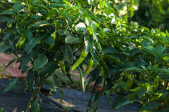 Pepper in a garden Royalty Free Stock Image