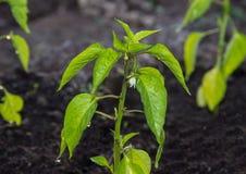 Pepper growing on fertile soil Royalty Free Stock Photos