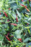 Pepper growing in the garden Royalty Free Stock Photography