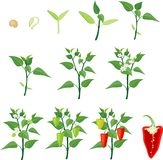 Pepper growing stage Stock Photo
