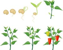 Pepper growing stage Royalty Free Stock Photos