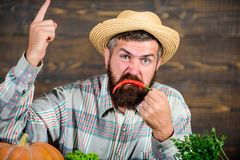 Pepper harvest concept. Bearded farmer hold chilli red pepper. Farmer angry hot chilli pepper wooden background. Rustic. Farmer straw hat likes spicy taste. Man royalty free stock photos