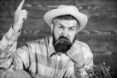 Pepper harvest concept. Bearded farmer hold chilli red pepper. Farmer angry hot chilli pepper wooden background. Rustic. Farmer straw hat likes spicy taste. Man royalty free stock photography