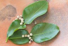 Pepper and kaffir lime leafs. Closeup pepper and kaffir lime leafs in earthen plate Stock Photography