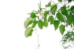 Pepper Leaf Stock Photos