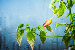 Pepper. Leaf Green Background Garden of Chile Spicy Food Seasoning Spice Grass Stock Photo