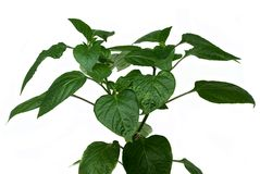 Pepper leaves. It is isolated on white background Stock Photography