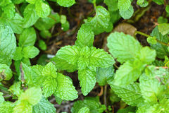 Pepper mint leaves background texture Stock Images