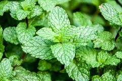 Pepper mint royalty free stock photo