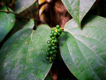Pepper. Peper tree in the backyard sufficient economy Royalty Free Stock Photography