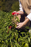 Pepper picking Royalty Free Stock Image