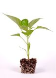Pepper Plant 1 Stock Images