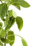 Pepper Plant. Close up of pepper plant with green, fresh pepper fruit Royalty Free Stock Images