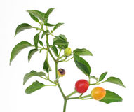 Pepper plant Royalty Free Stock Images