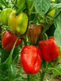 Pepper plant Stock Photos