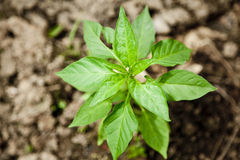 Pepper plant Royalty Free Stock Image