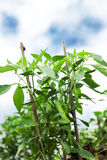 Pepper plant Stock Images