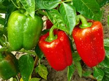 Free Pepper Plant Royalty Free Stock Images - 26353719