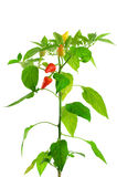 Pepper plant. On white background Royalty Free Stock Images