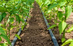 Free Pepper Plant And Drip Irrigation Stock Photography - 102092962