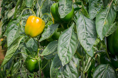 Pepper plant Stock Photography