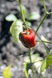 Pepper Plant. Close up of a Pepper Plant with a red pepper royalty free stock photo