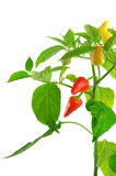 Pepper plant. Close-up on white background Royalty Free Stock Image