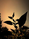 Pepper plant. Evening shoot. Background Stock Images