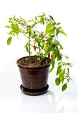 Pepper plant with fresh red hot chilli peppers growing in plasti Stock Images