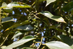 Pepper plant. With green pepper berry stock photography