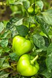 Pepper plant Stock Photo