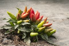 Pepper plant. In a greenhouse, closeup shot Royalty Free Stock Image