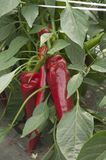 Pepper plant. In a greenhouse, closeup shot Stock Photography