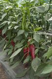 Pepper plant. In a greenhouse, closeup shot Royalty Free Stock Photo