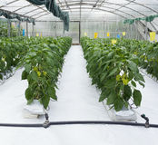 Pepper Plant Greenhouse Royalty Free Stock Images