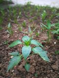 Pepper plant. In the ground Royalty Free Stock Photos