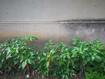 Pepper plant. In the ground under the wall Royalty Free Stock Photography