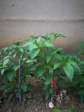 Pepper plant. In the ground under the wall Stock Image
