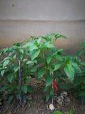 Pepper plant Stock Image