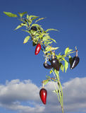 Pepper plant. Plant that has both purple and red jalapenos on its branches Stock Images