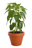 Pepper Plant Isolated Royalty Free Stock Image