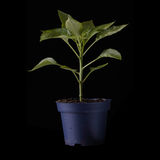 Pepper plant isolated. Royalty Free Stock Photos