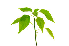 Pepper plant isolated . Stock Photography